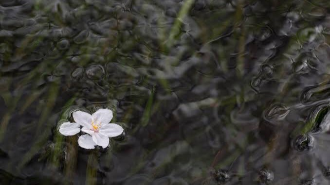 おしゃれな四字熟語⑫:落花流水(らっかりゅうすい)