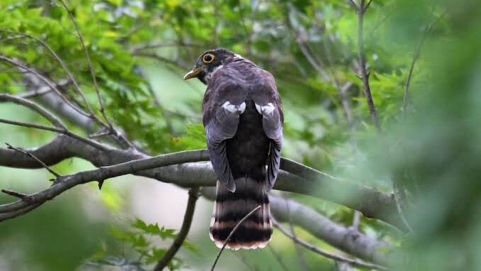 動物を含む四字熟語「鳥」⑤:慈悲心鳥(じひしんちょう)