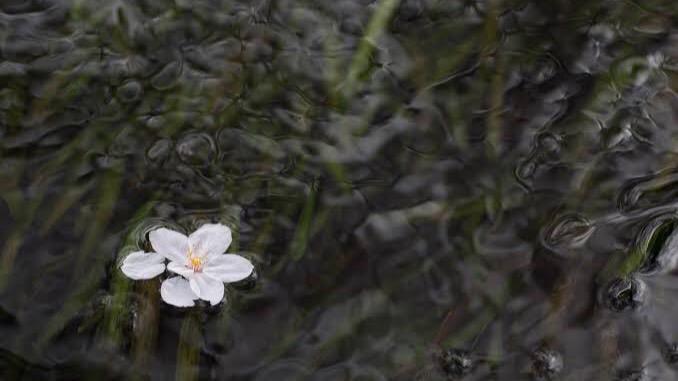 他者への「愛」を表す四字熟語②:落花流水(らっかりゅうすい)