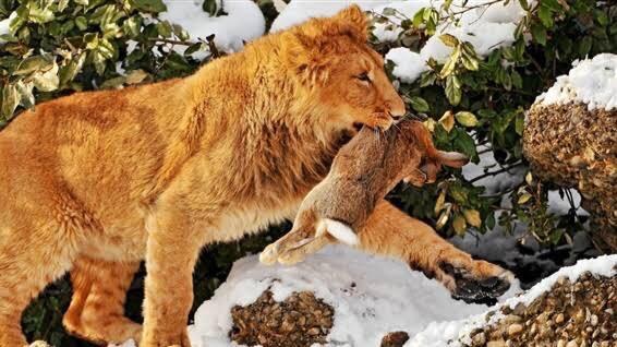 動物を含む四字熟語「獅子」②:獅子搏兎(ししはくと)